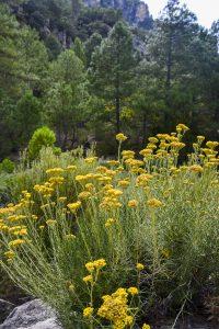 Kocanka Włoska, Helichrysum Italicum